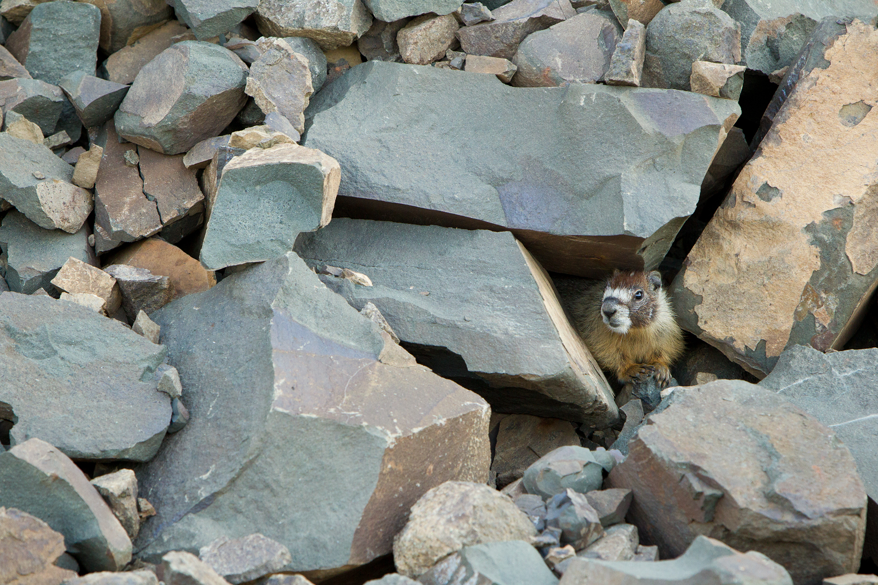 A Yellow-bellied Marmot surveys the outside world from it's home in a boulder field. Taken in Manning Provincial Park, B.C, Canada.  Image ©Connor Stefanison