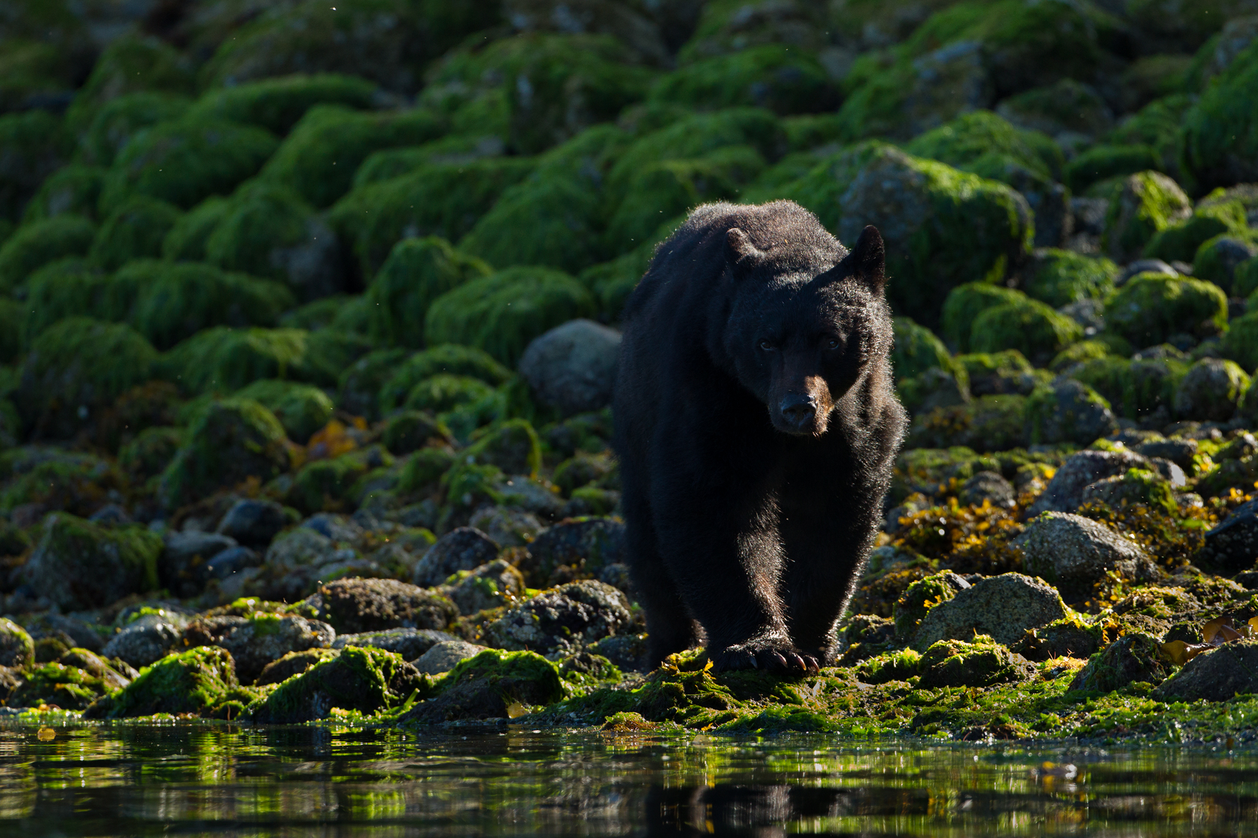 A large Black Bear boar makes his way down the shoreline. Taken off the west coast of Vancouver Island, B.C, Canada.  Image ©Connor Stefanison