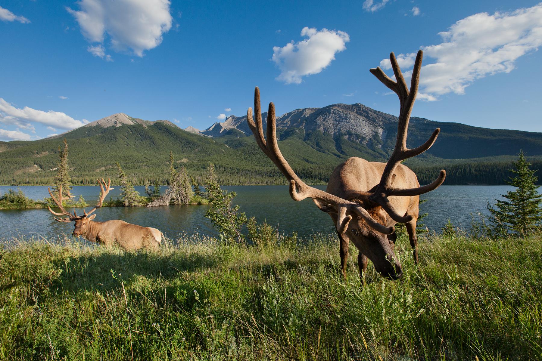 Two bull Rocky Mountain Elk feed along Talbot Lake in Jasper National Park, Canada.  Image ©Connor Stefanison