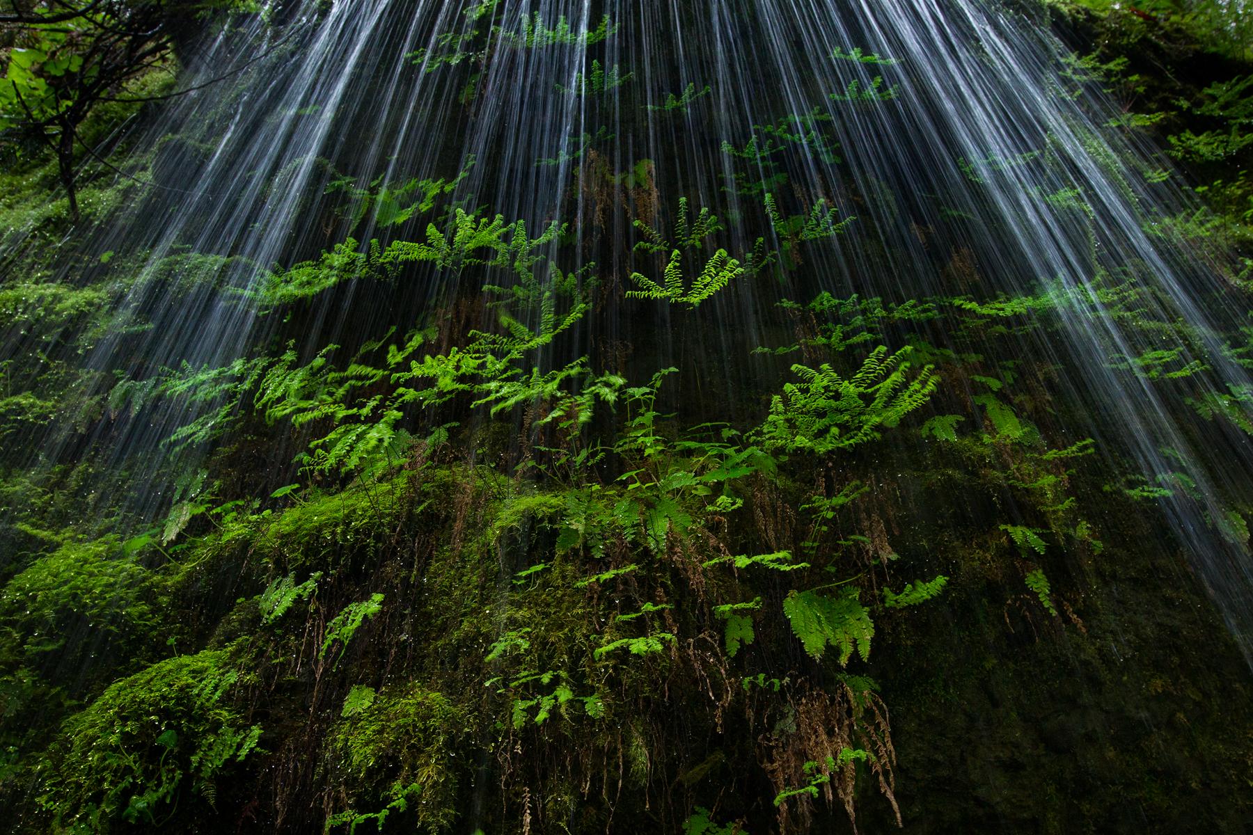 Water falls over Maidenhair Ferns near Eagle Creek in Oregon, USA.  Image ©Connor Stefanison