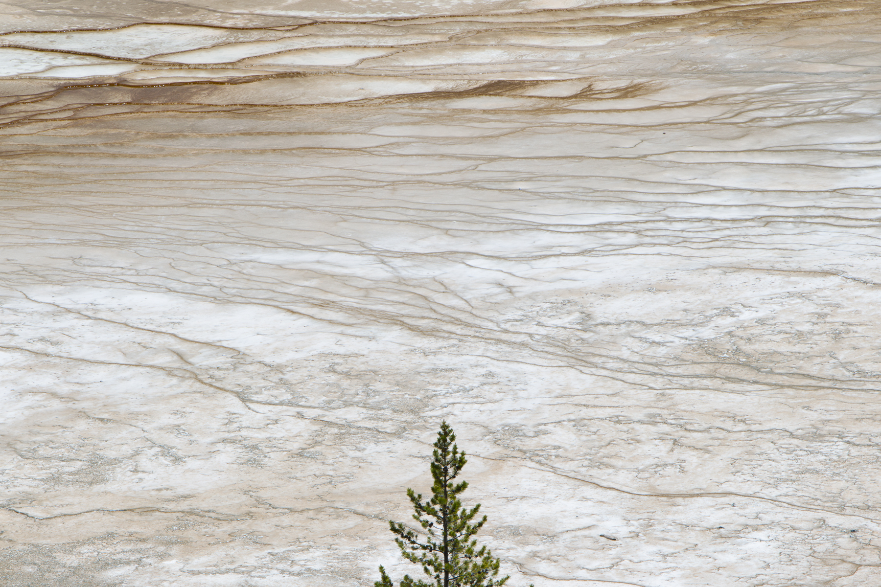 A lone tree marks itself as the final vegetation before an expanse of hot spring flats in Yellowstone National Park, USA.  Image ©Connor Stefanison
