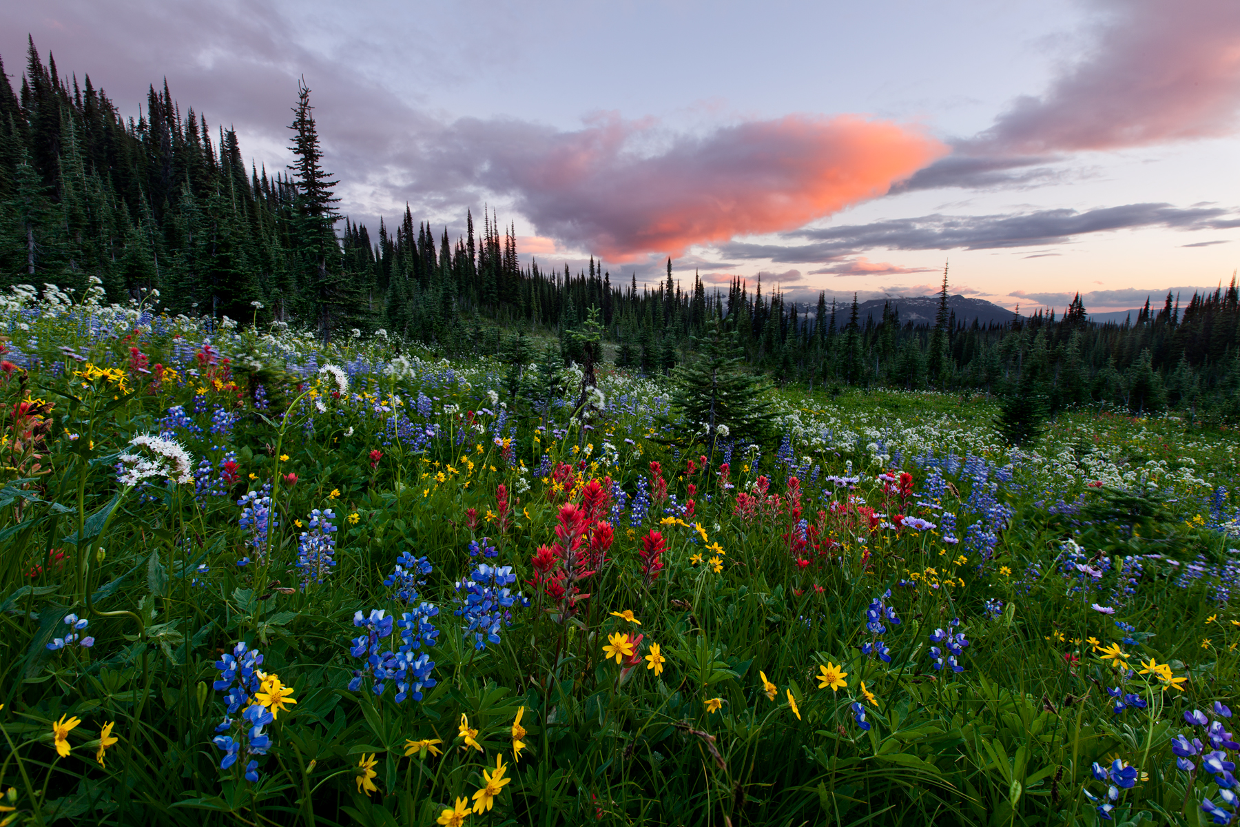 Wildflowers in Revelstoke National Park, B.C, Canada.  This image is a blend of multiple exposures.  Image ©Connor Stefanison