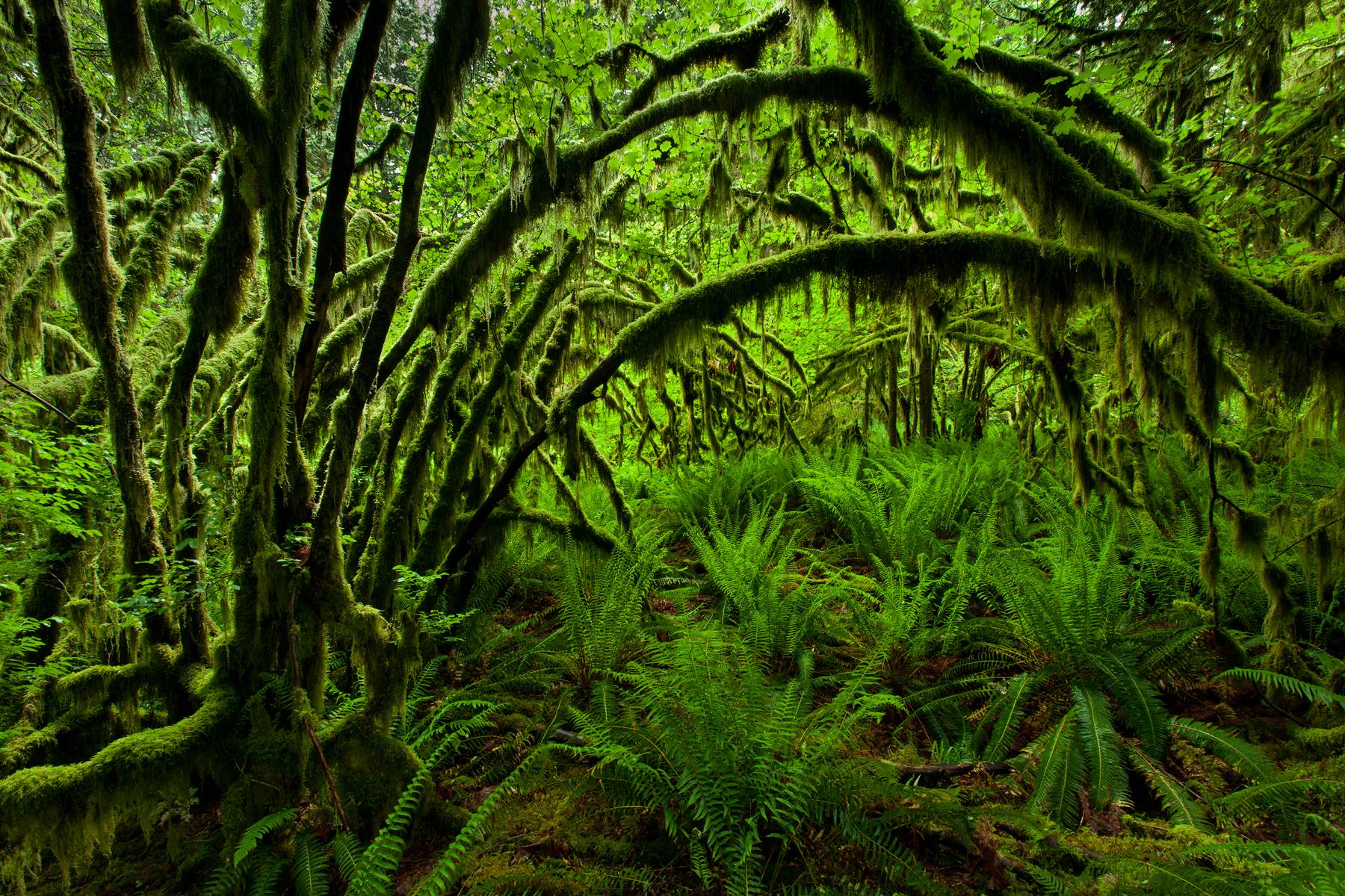 Vine Maples and Sword Ferns in Maple Ridge, B.C, Canada.  Image ©Connor Stefanison