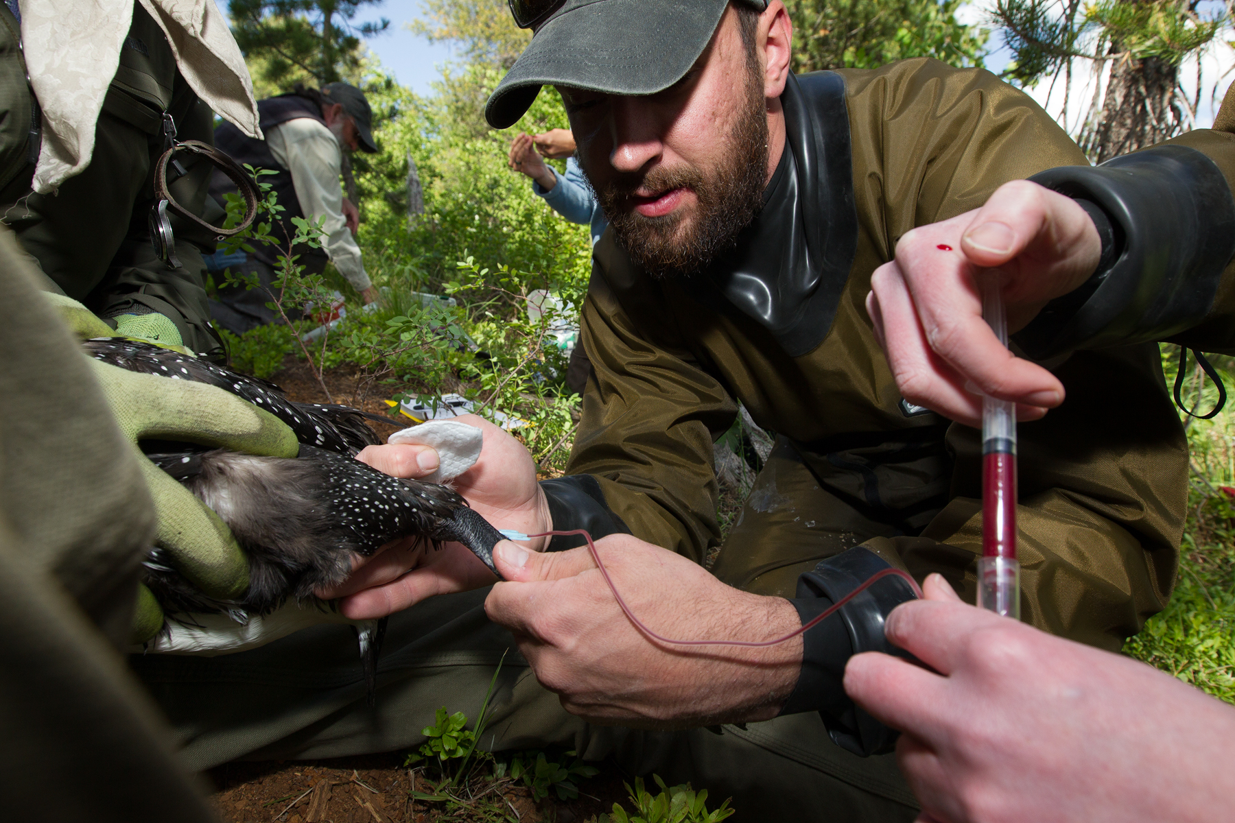Carl Brown (left), Chris Persico (middle) and Michelle Kneeland (right) take blood samples of a common loon. These blood samples are used to measure many things, one of which being heavy metal contaminants. Blood sample results are then compared across North American Common Loon populations.   Image ©Connor Stefanison