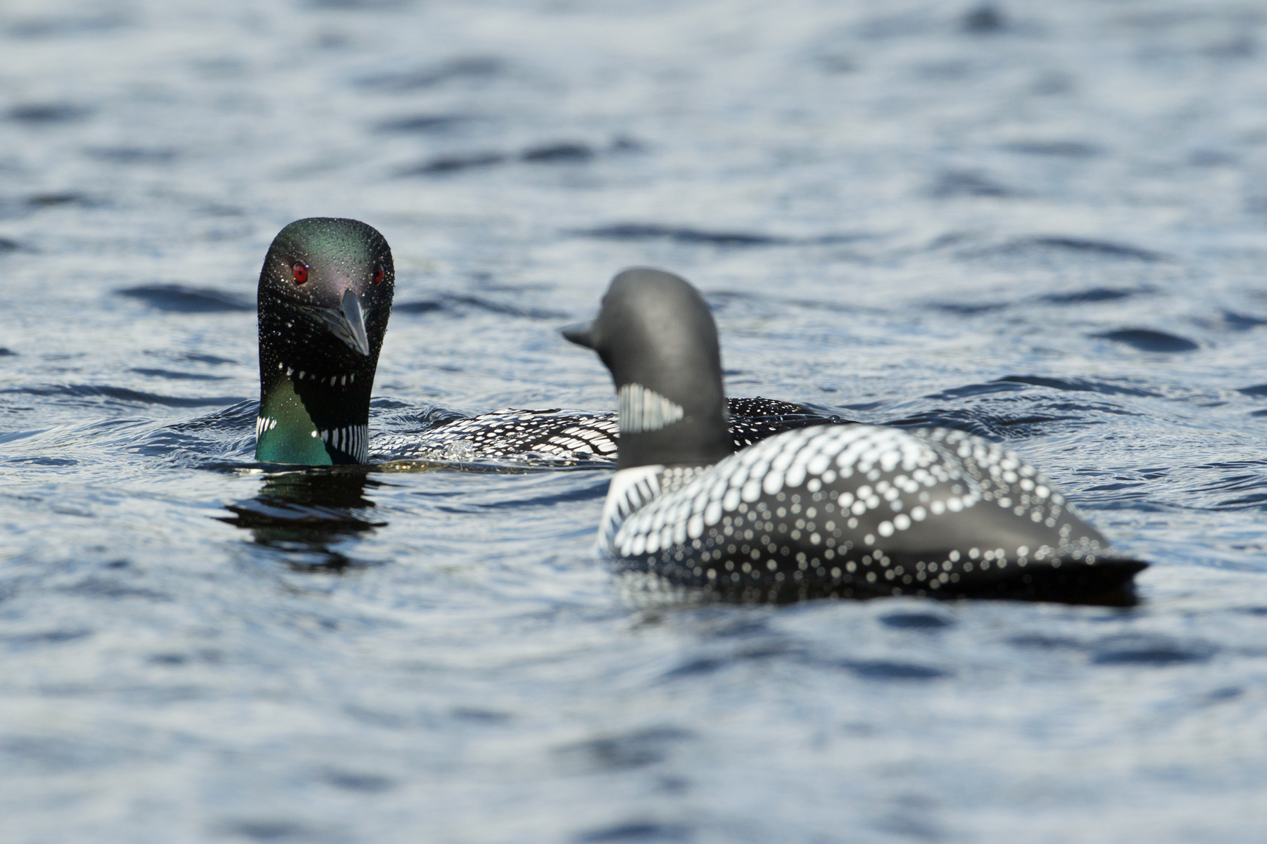 A Common Loon (rear) approaches a loon decoy (front) above a capture net. Once above the capture net, one researcher will suddenly jump up and clap. Doing this scares the loon and causes it to dive down into the net.   Image ©Connor Stefanison