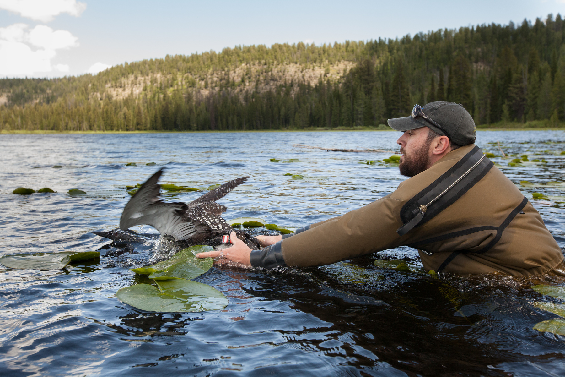 Chris Persico releases a Common Loon back into the wild, where it quickly returned to its mate. From capture to release, the entire procedure only takes around twenty minutes.   Image ©Connor Stefanison