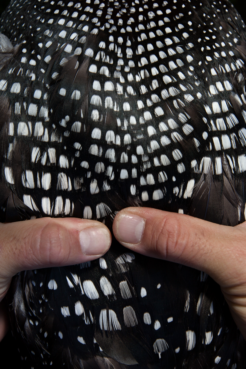 Carl Brown carefully holds a Common Loon, while sampling procedures take place.   Image ©Connor Stefanison