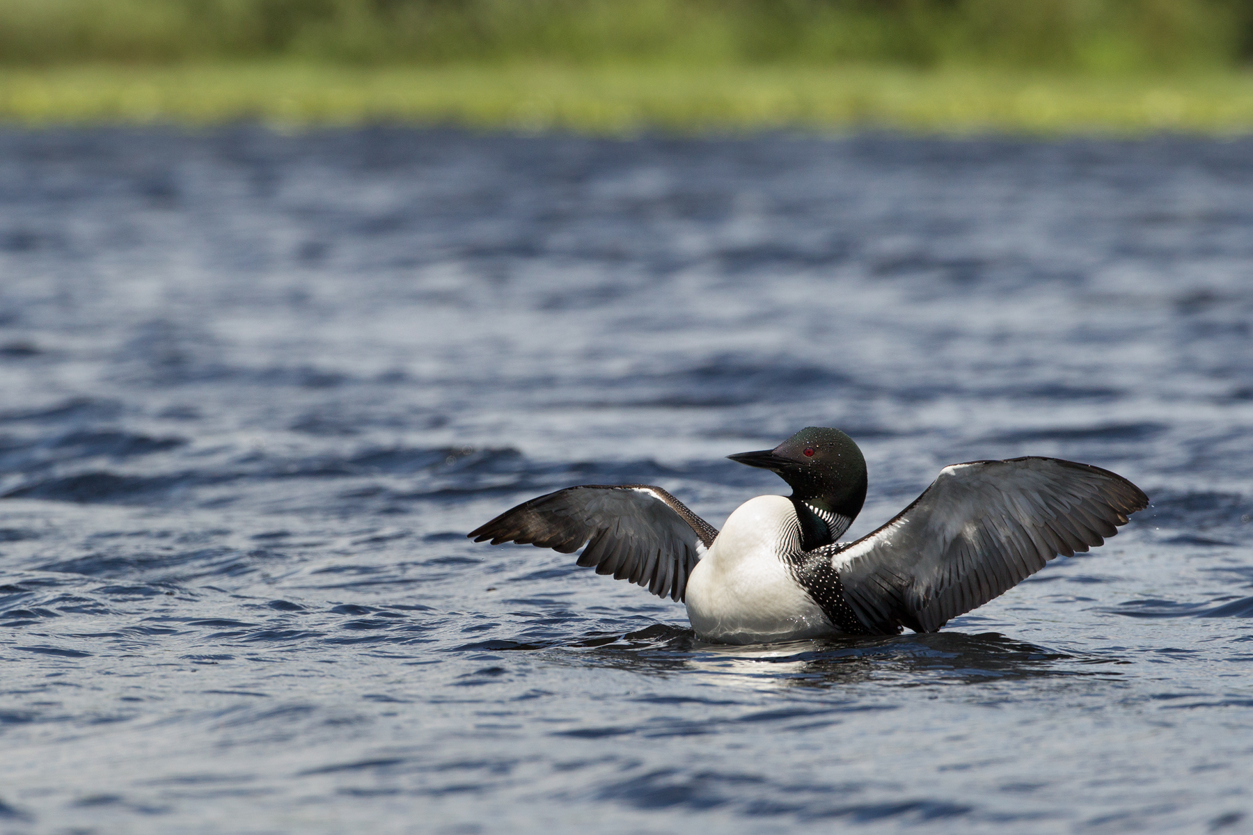 After a second attempt at a different lake, a new loon approaches the decoy. With only a dozen or so pairs of Common Loons in the Greater Yellowstone Ecosystem, every capture attempt is crucial in learning about this small population.  Image ©Connor Stefanison