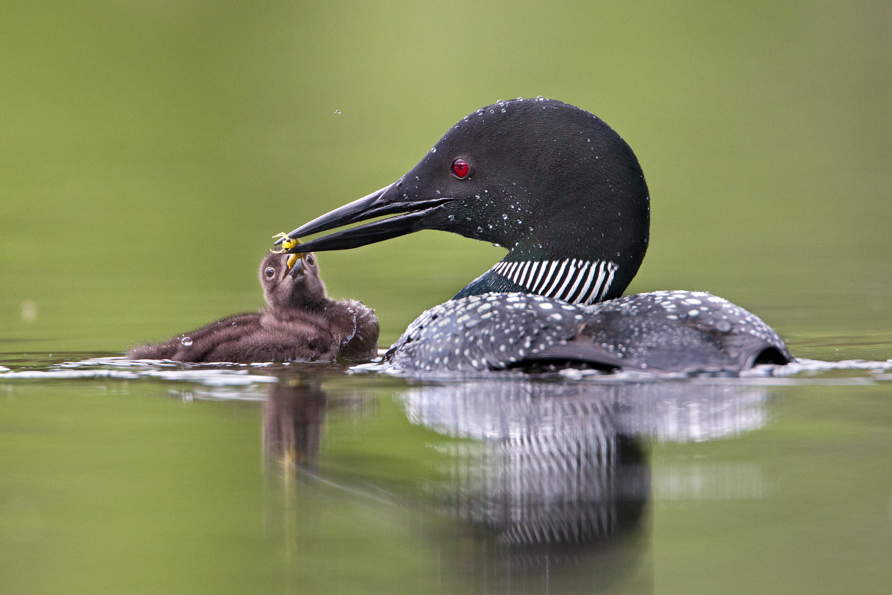 A Common Loon feeds its chick a dragonfly at a lake in the interior of British Columbia, Canada. The future goal of the Biodiversity Research Institute is to be able to transport loon chicks from places like Canada and the eastern USA, to select habitats in the Greater Yellowstone Ecosystem.