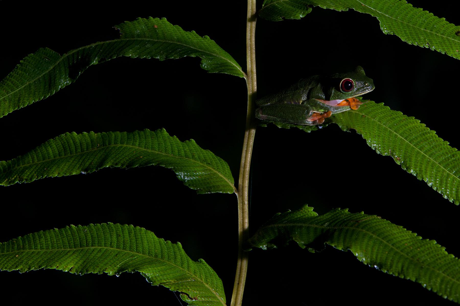 Red-eyed Tree Frog. Gamboa, Panama.  Image ©Connor Stefanison