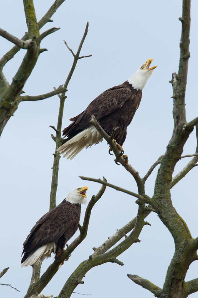 EaglesCalling.jpg