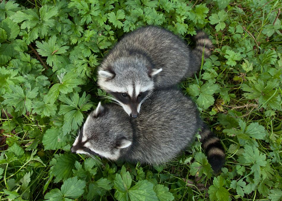 RaccoonCuddle.jpg