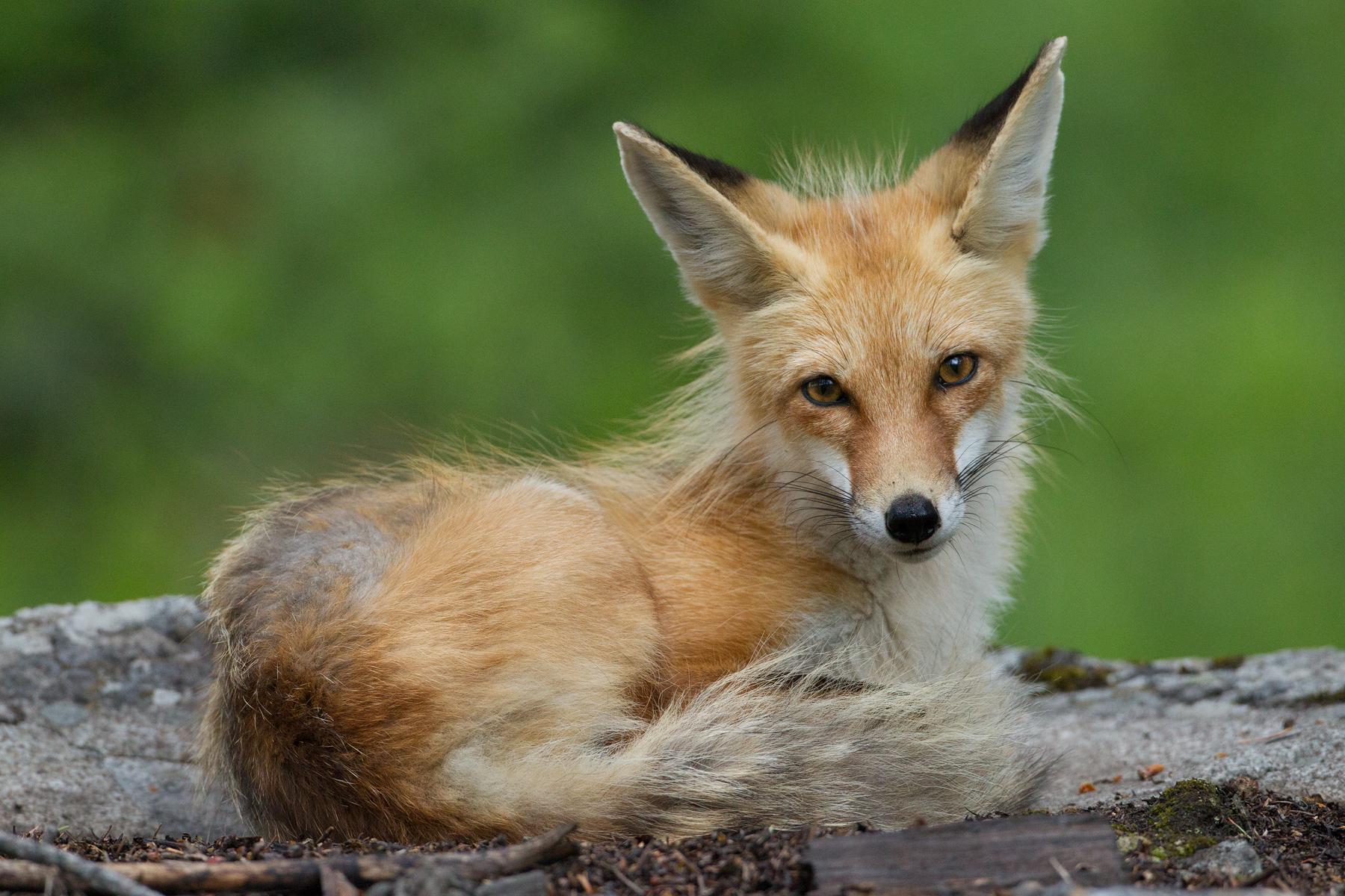 FoxStare.jpg