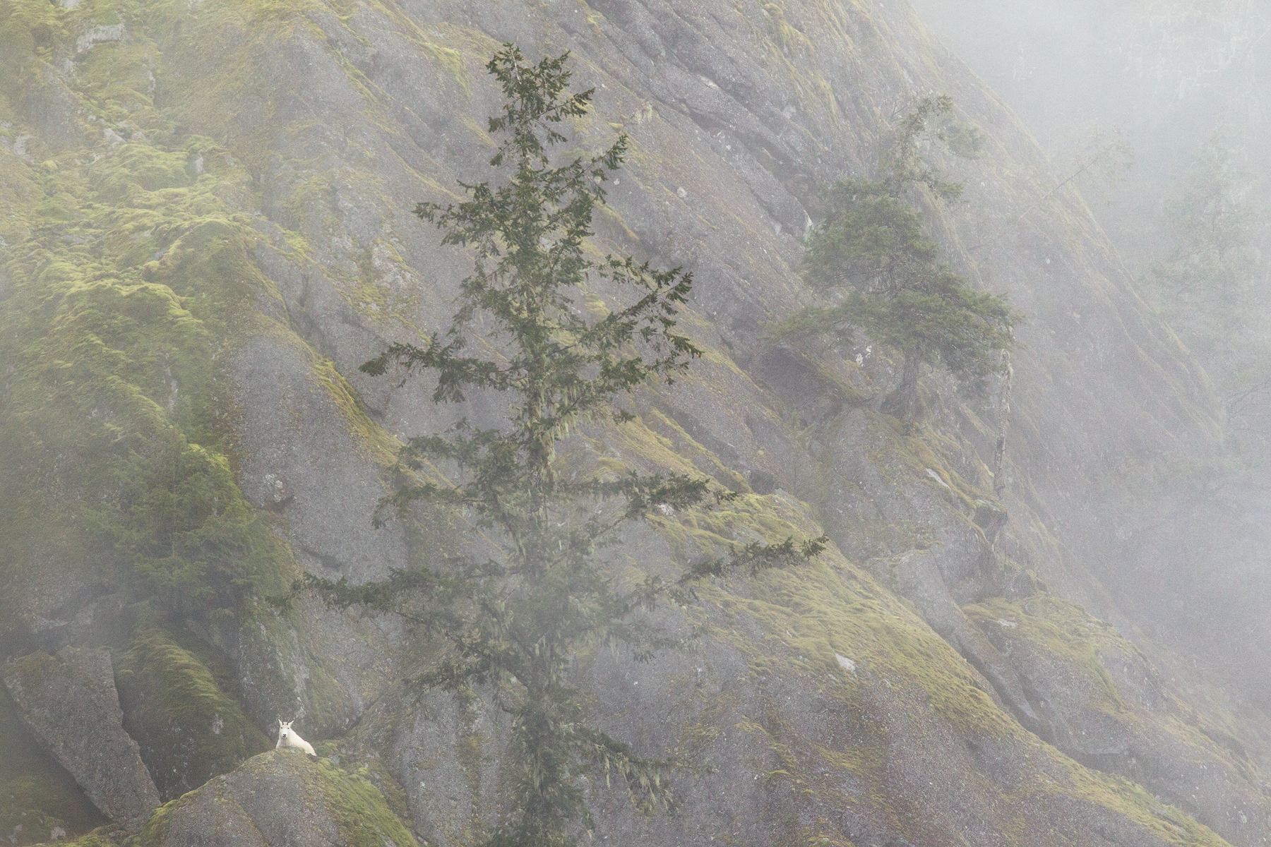 A lone Mountain Goat beds down on a valley bottom bluff in southwest B.C, Canada.  Image ©Connor Stefanison