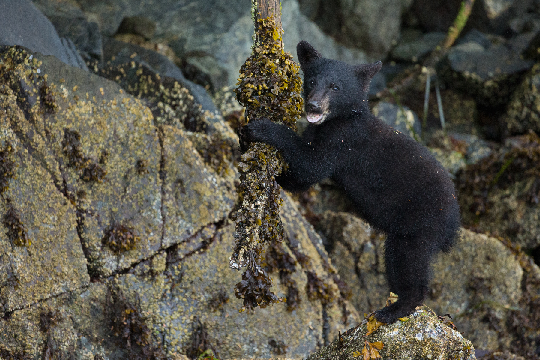 A Black Bear cub plays with a rockweed covered branch on Vancouver Island, B.C, Canada.  Image ©Connor Stefanison