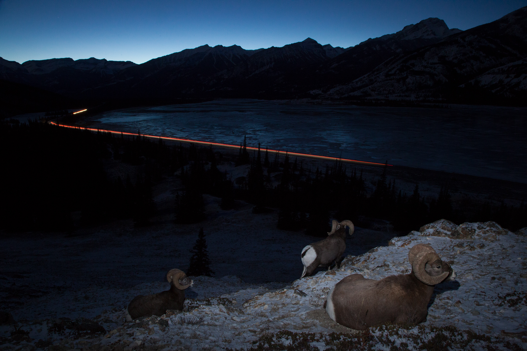 Rocky Mountain Bighorn Sheep bed down for the night above the highway in Jasper National Park, Canada.  Image ©Connor Stefanison