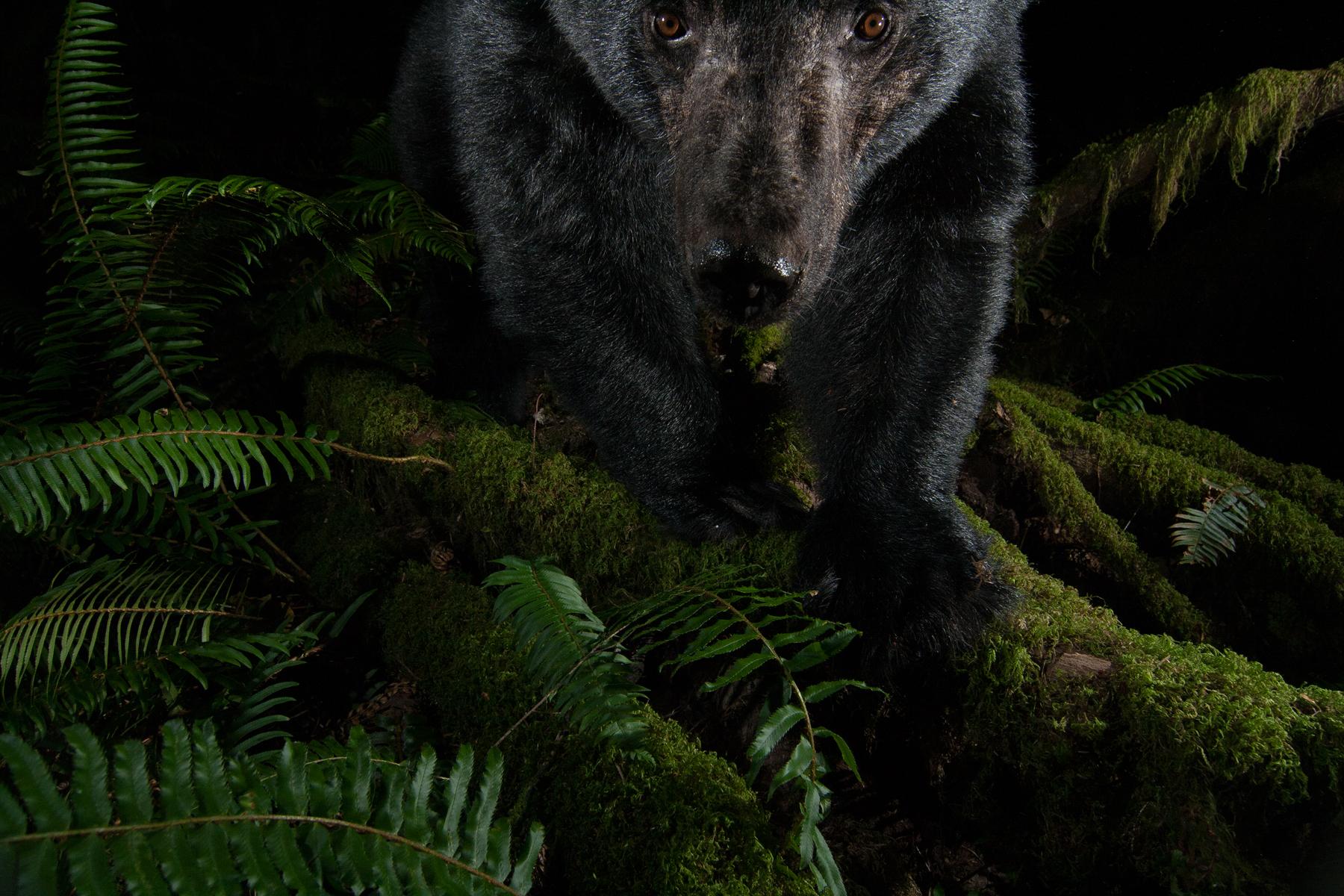 A Black Bear inspects my camera trap at night in a coastal temperate rainforest.  Maple Ridge, British Columbia, Canada.  Image ©Connor Stefanison