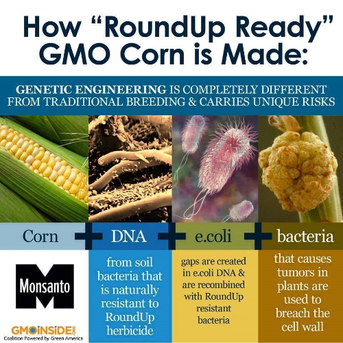 GMO corn graphic