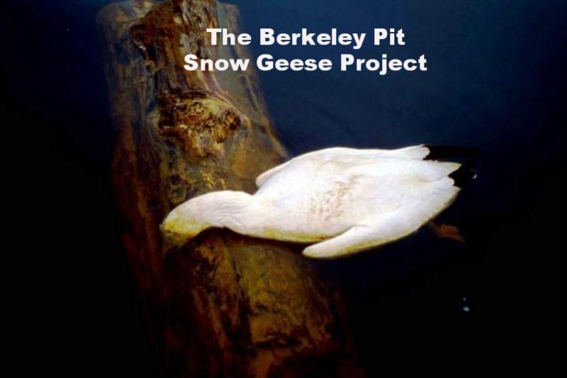 Berkeley Pit Snow Goose 1995.png