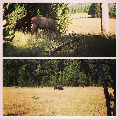 Yellow stone National Park Elk and Bison