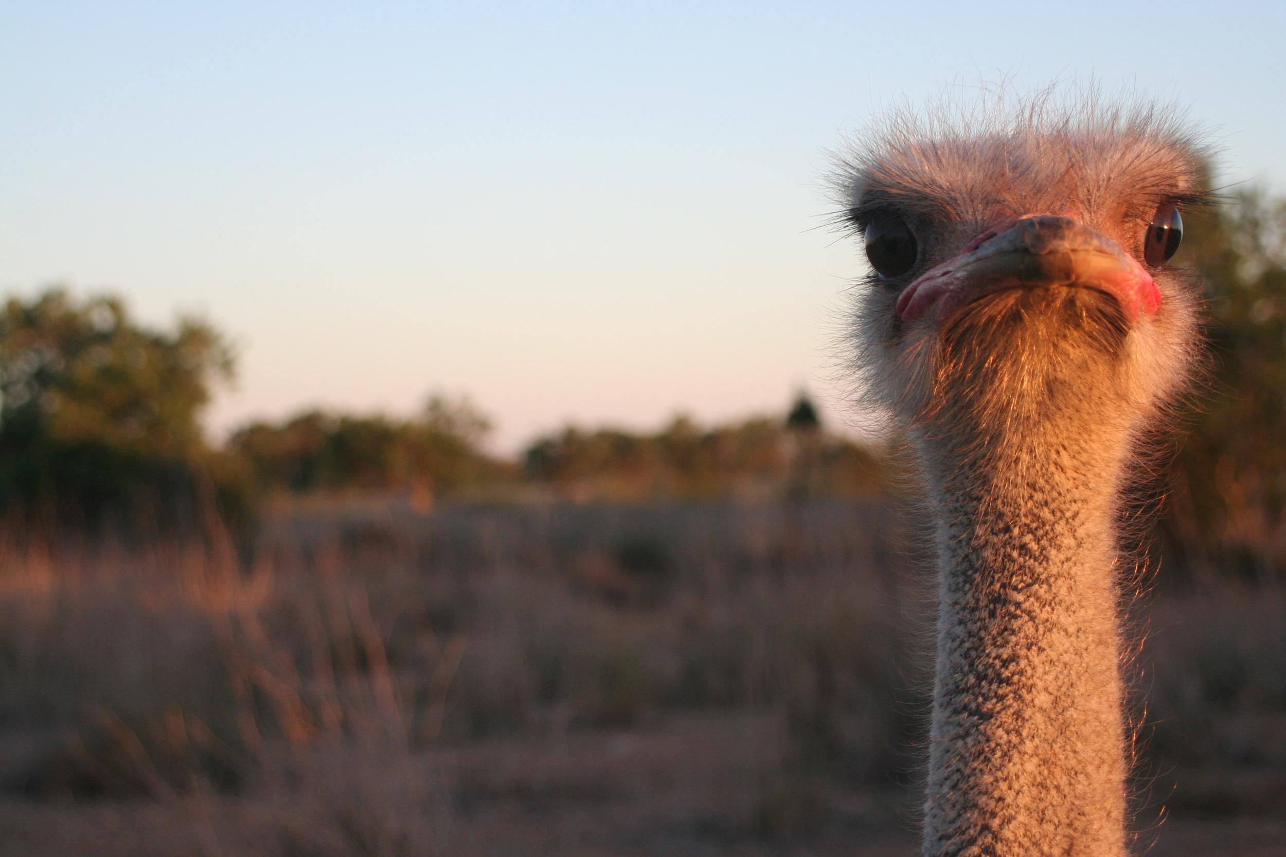 Strutsar är inte vanligt förekommande på Mallorca. De här är födda i Sydafrika men trivs väldigt bra i Medelhavsklimat.