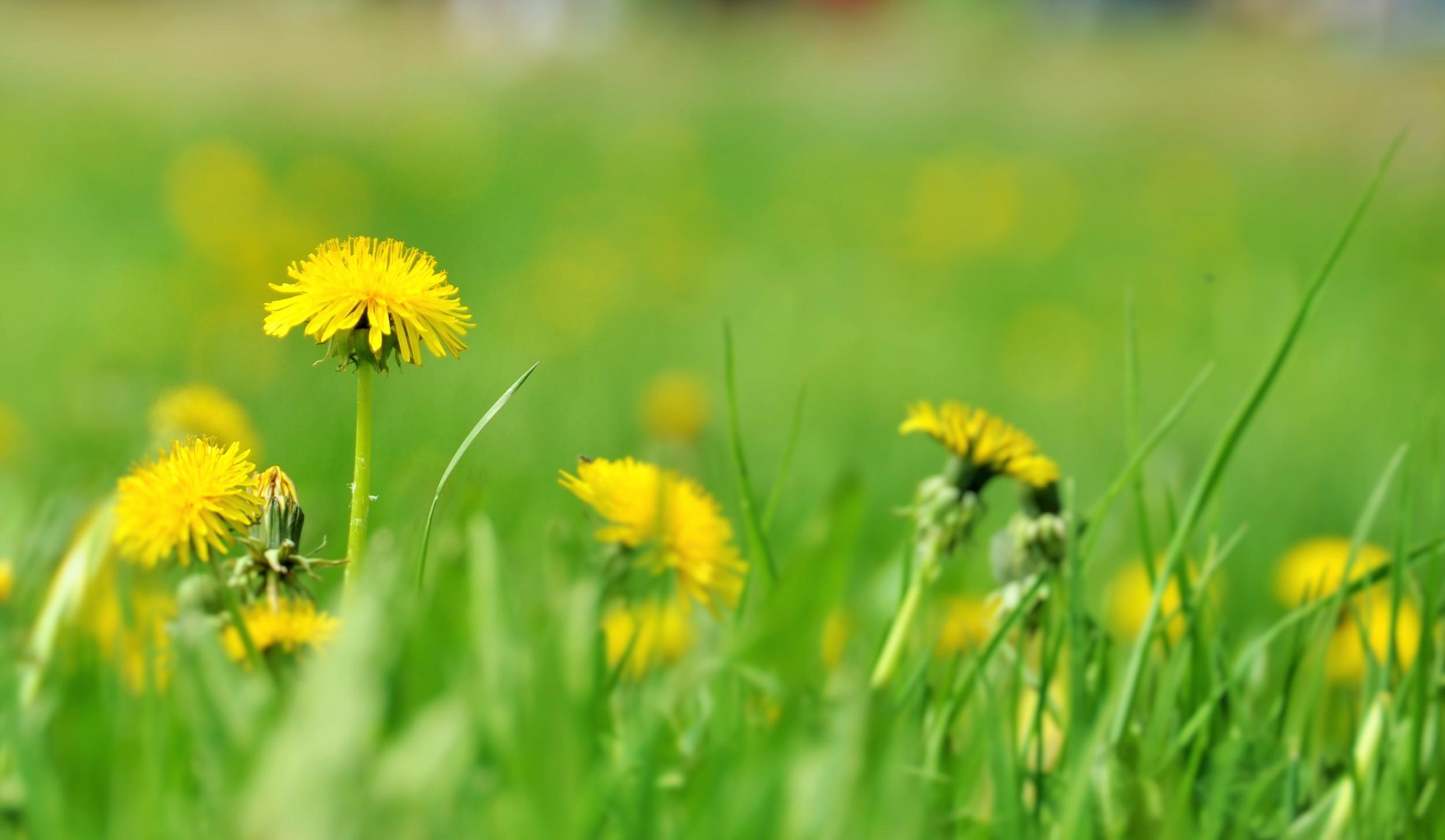 Maskrosor är kanske ogräs men ser iallafall glada och soliga ut.