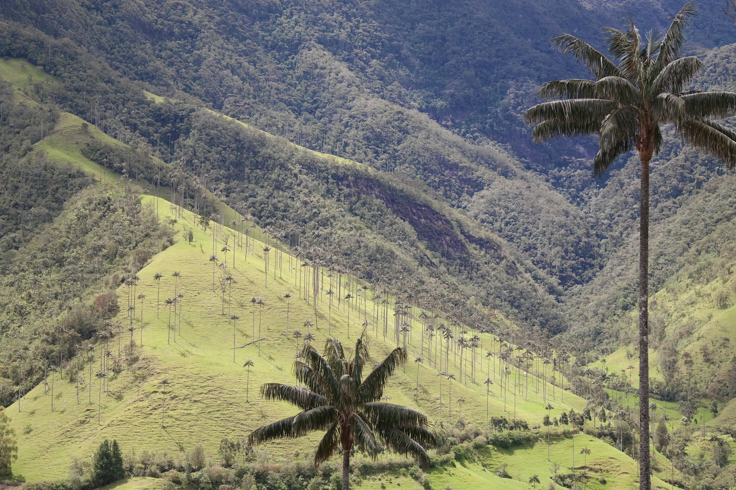Vaxpalmerna är Colombias nationalträd och kan bli upp till 60 meter höga.