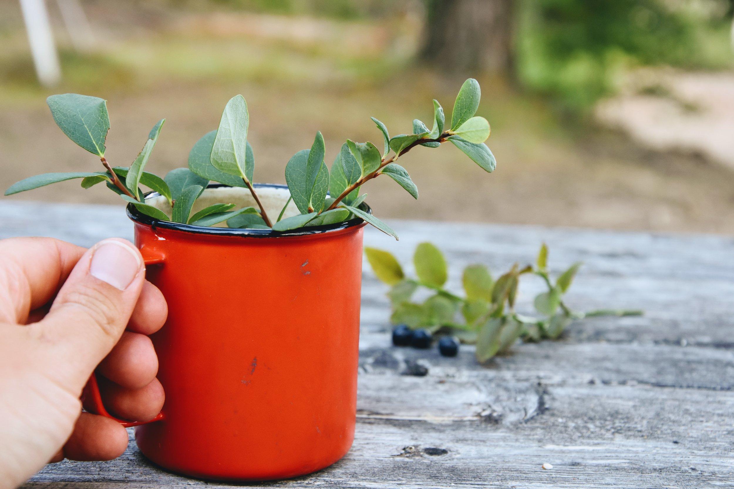 ...eller istället för kaffe kan du koka te på blåbärsblad!