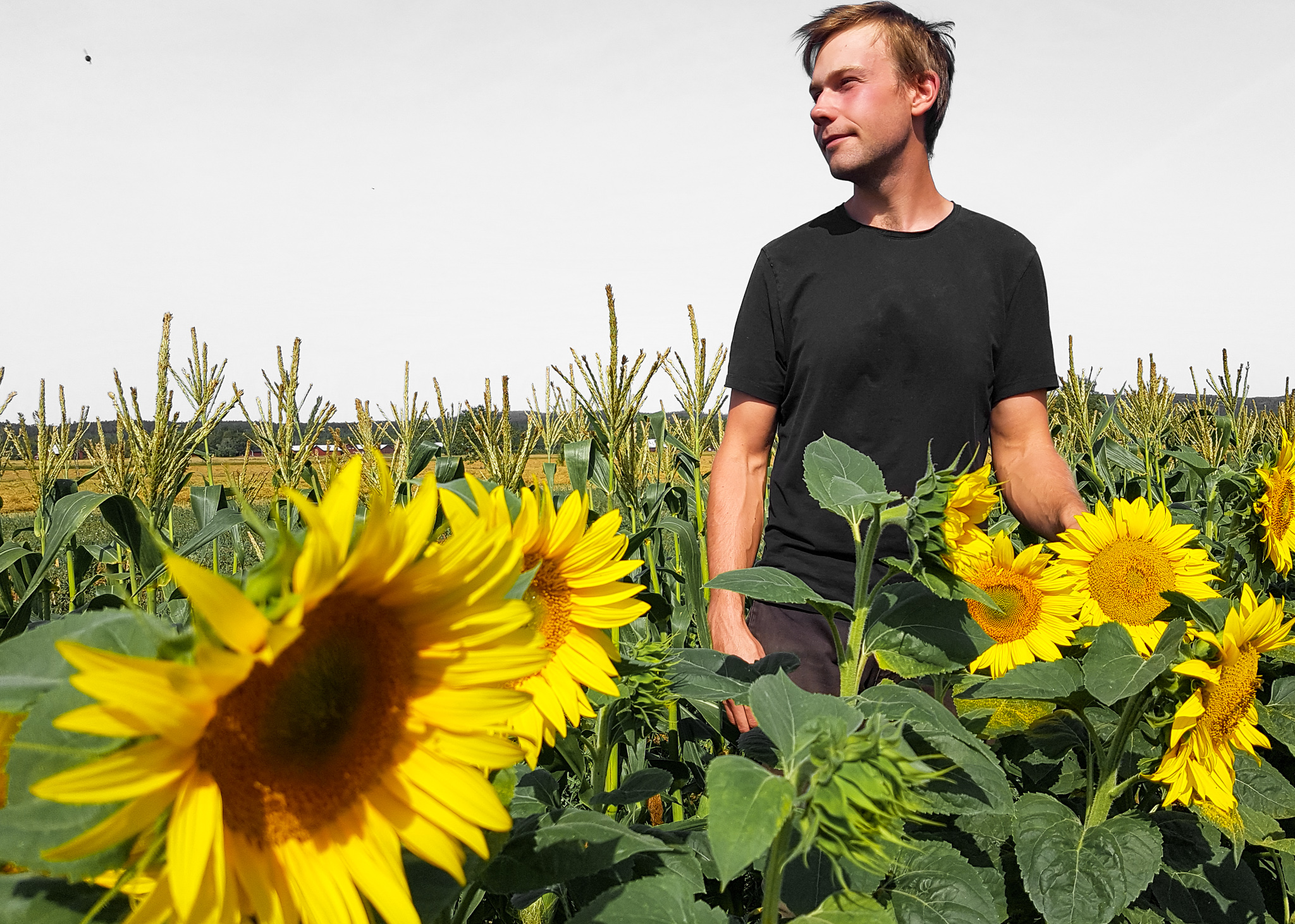 Adam Arnesson, @ekobonden, på ett solrosfält på sin gård Jannelund i Mullhyttan.