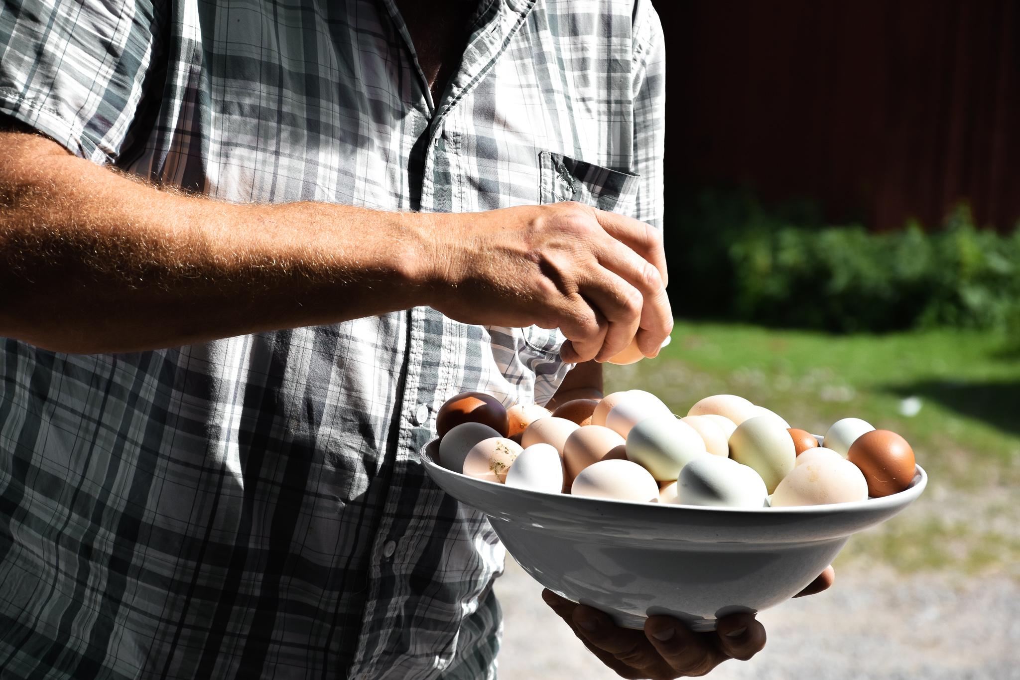 Äggen skiftar i olika pastellfärger beroende på hönssort