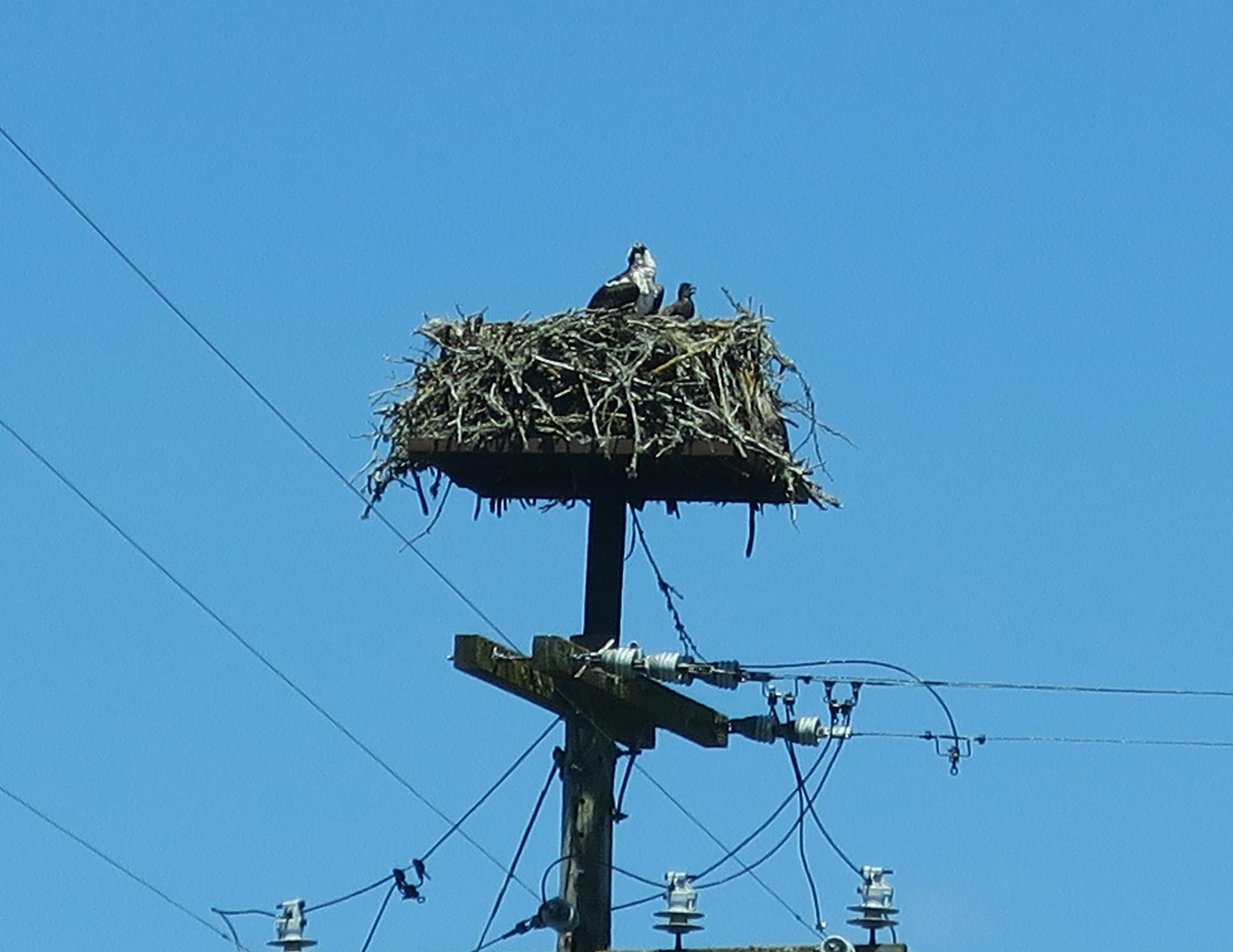 Osprey in nest 6-20-16 RBO 1.JPG