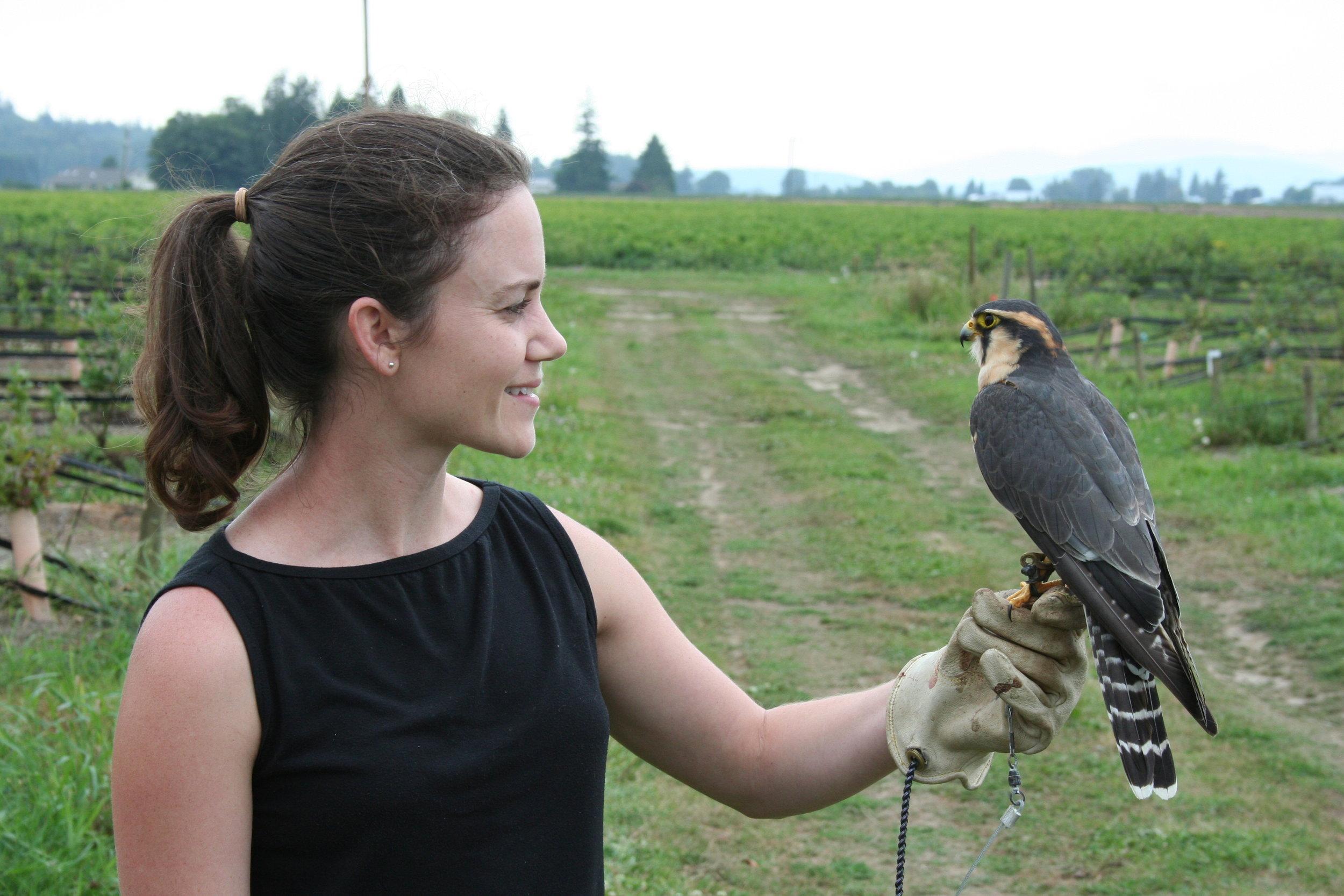 Prairie Falcon for bird management.