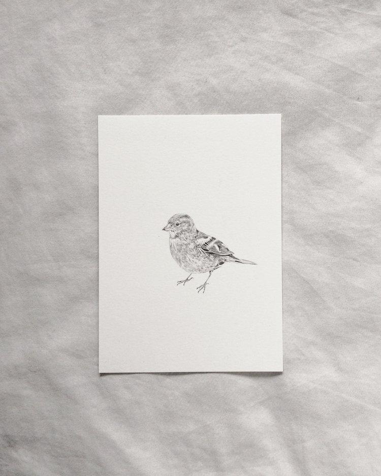 Claire Leach - Female Chaffinch.jpeg