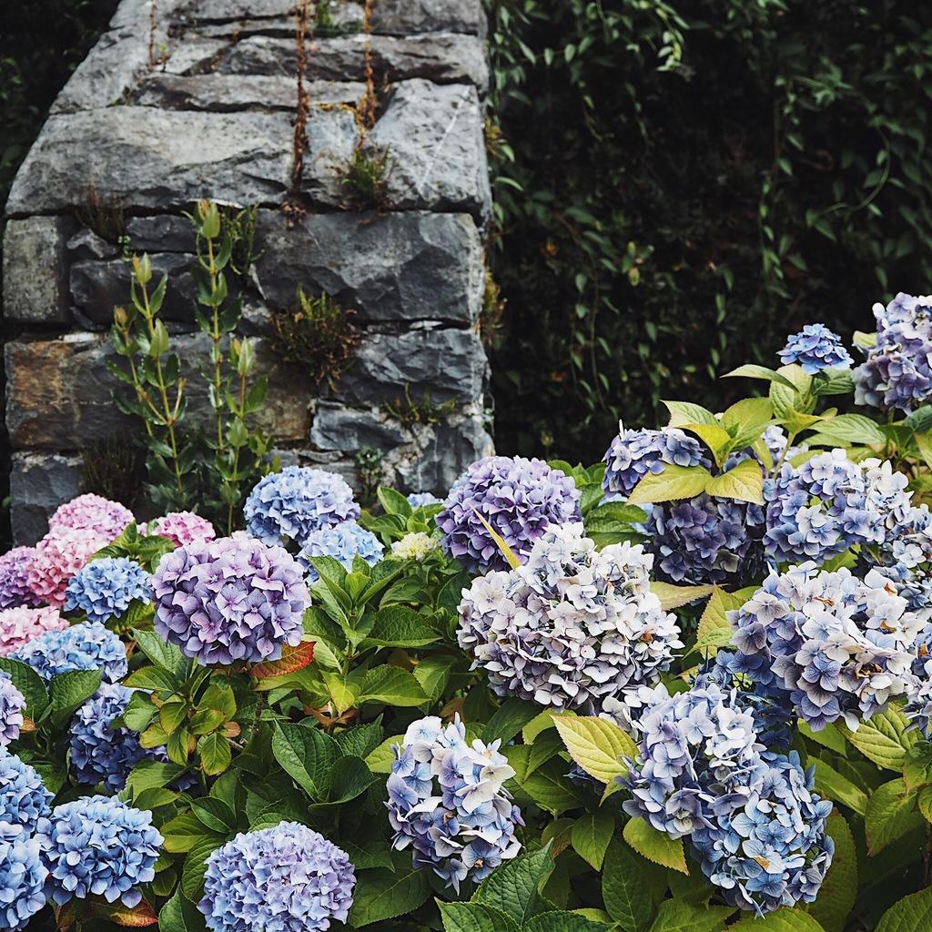 Hydrangeas against a grey stone wall.jpg