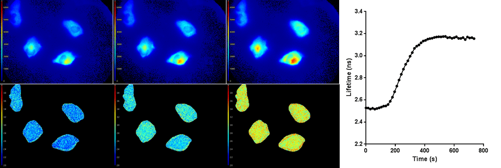 Top row: Light intensity images (colorized). Bottom row: Corresponding fluorescence lifetime images (colorized). The average fluorescence lifetime of the cells increases over time, as shown in the graph on the right.