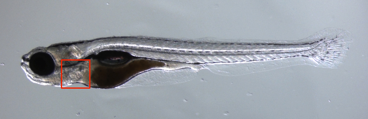 Figure 1. Photo of a zebrafish. The heart is located inside the red square.