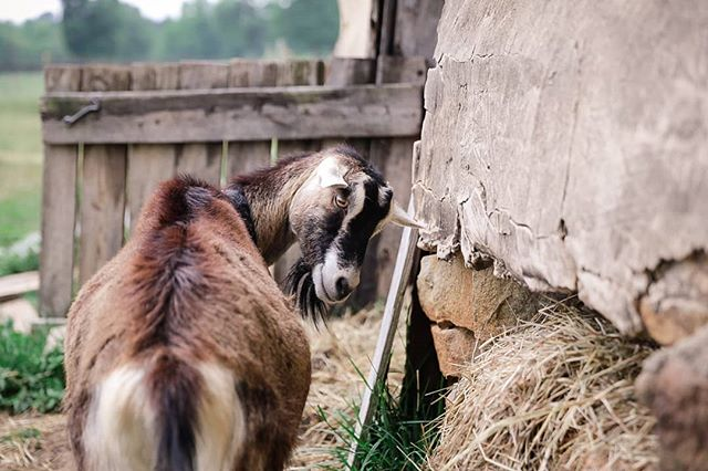 Why are all the goats at @elodie_farms such babes?! ⠀⠀⠀⠀⠀⠀⠀⠀⠀ #elodiefarms #bestofthebull #totesmagoats #allthegoatsnuggles #glamourgoat #listyrolerphotography