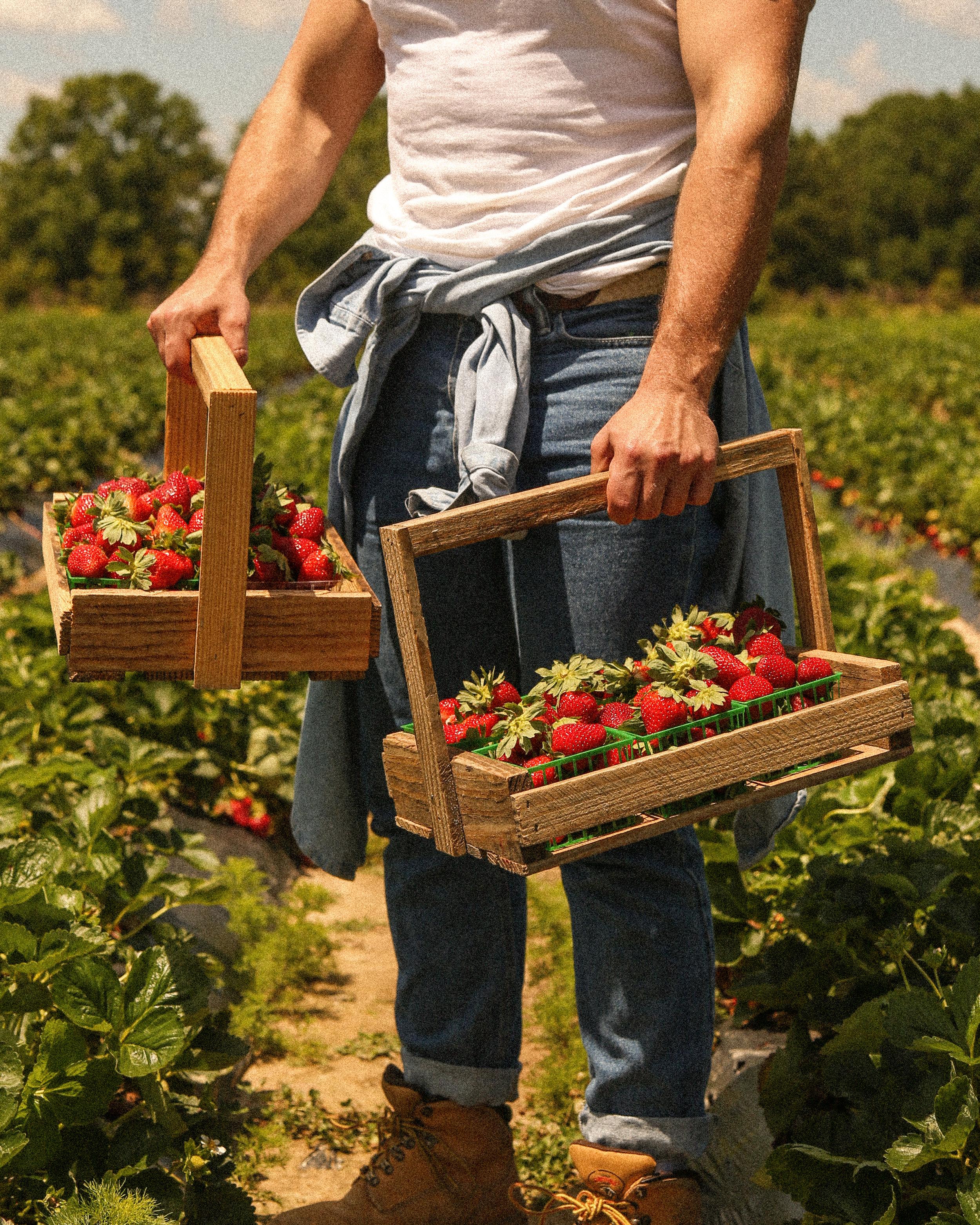 louisiana strawberry picking