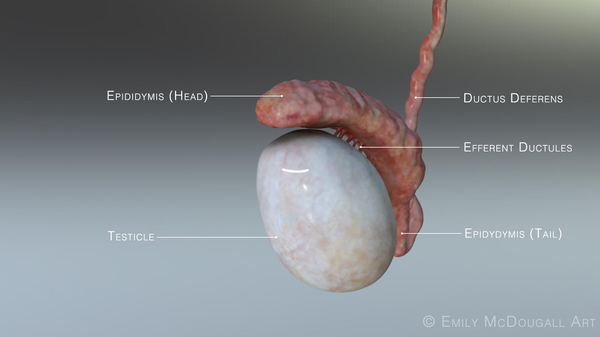 testicle labelscopy.jpg