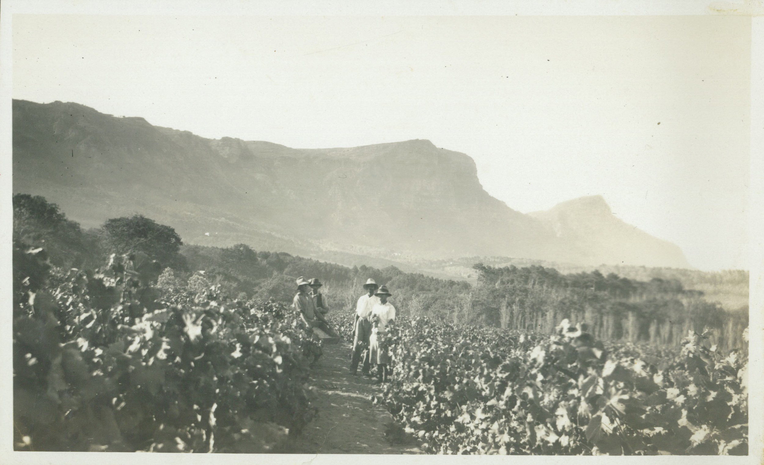 Feb `1931 - Picking Export Grapes.jpg
