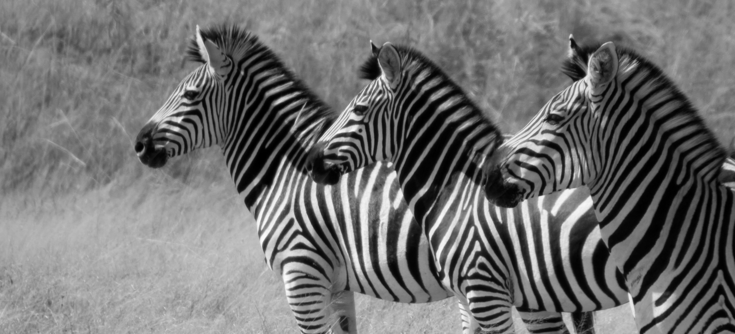 Zebras in Zimbabwe.jpg