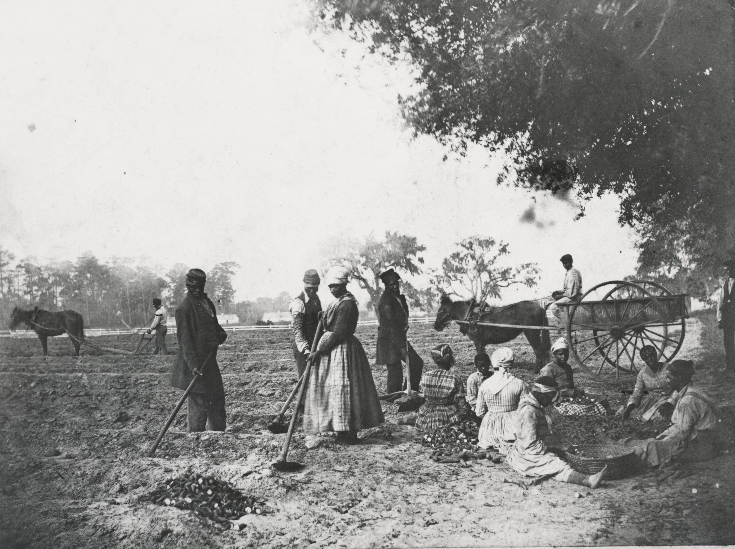 Sweet Potatoe Planting—James Hopkinson's Plantation, Courtesy of the Library of Congress
