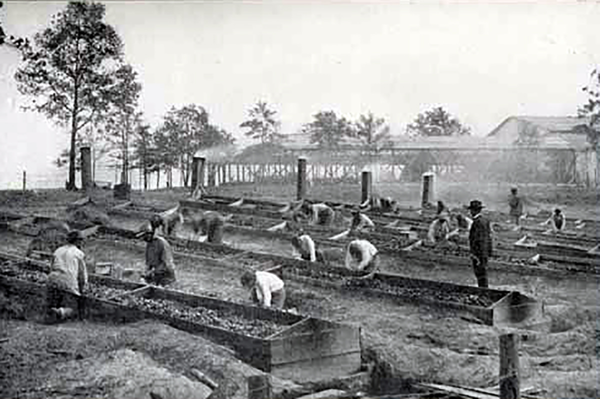 Scientist George Washington Carver supervising students planting Sweet potatoes, Tuskegee Institute, circa 1880s, Courtesy of the Special Collections Library University of North Carolina