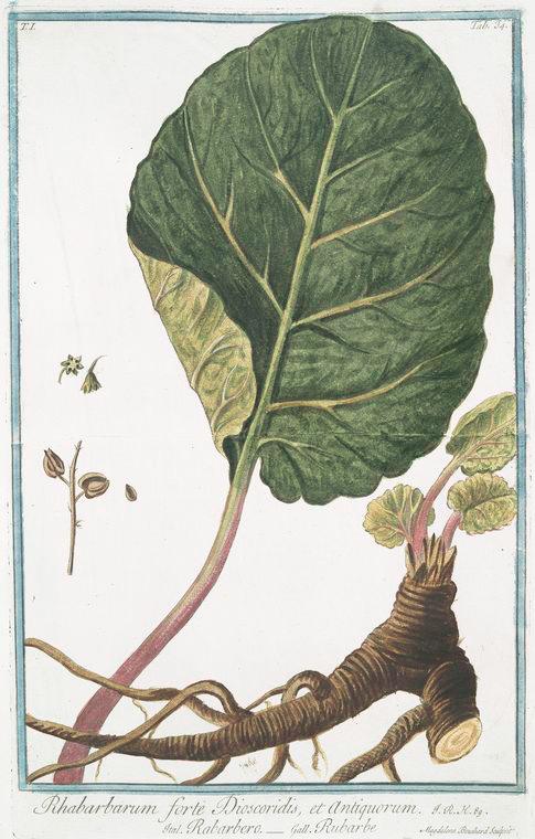 Rhabarbarum forte Dioscoridis, et Antiquorum = Rabarbero = Rubarbe = Rhubarb, circa 1771, Courtesy of the New York Public Library