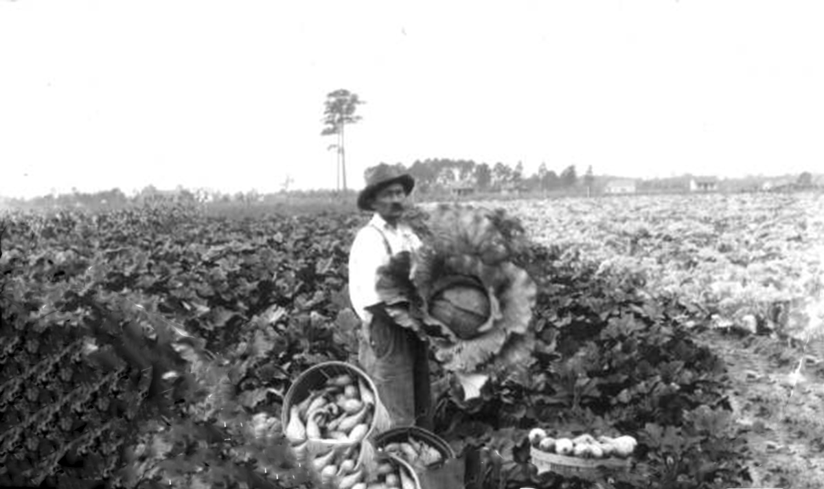 Cabbage and squash patch, 1920, Courstey of the Florida Memory Project