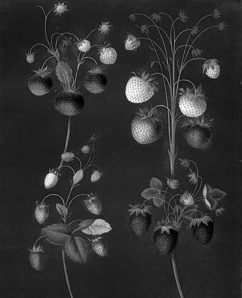Strawberry_nypl.digitalcollections.jpg