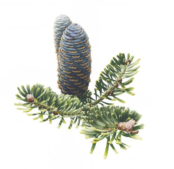 Abies koreana, 'Carron'.jpg