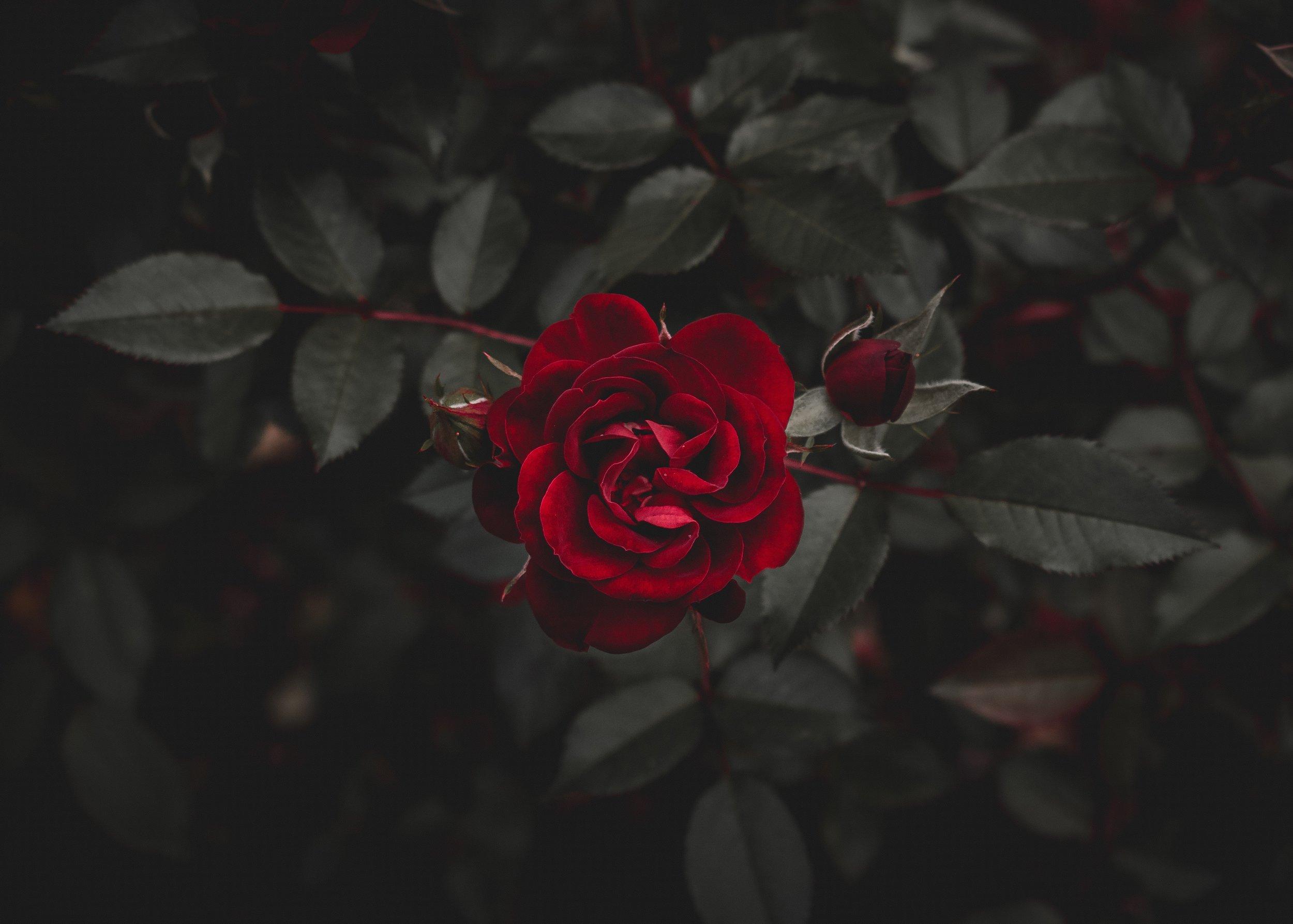 rose-thorn.jpg