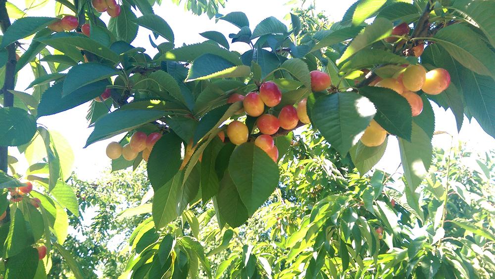 chilean_rainier_cherries.jpg