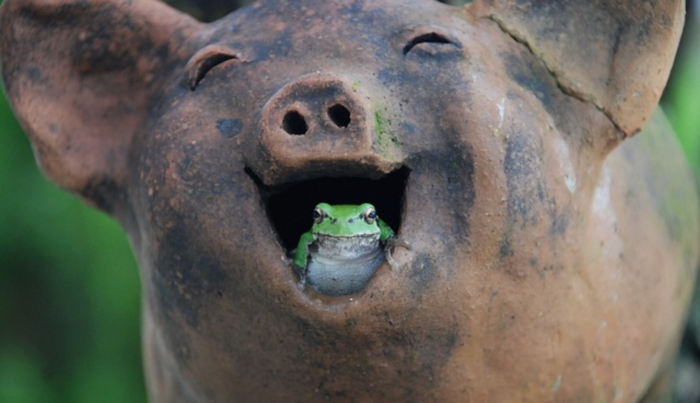 frog-in-pig.jpg